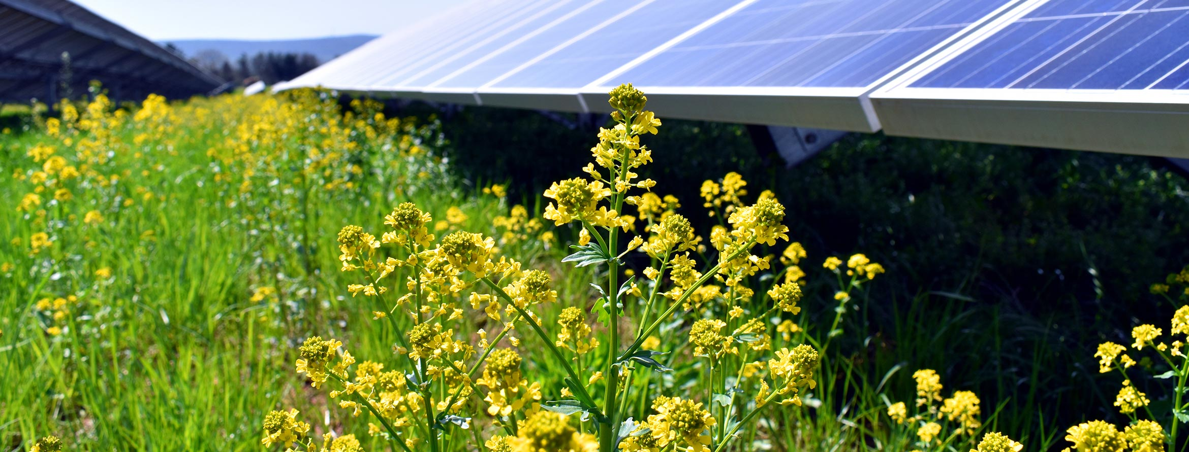 Solar panels with pollinator species and grass